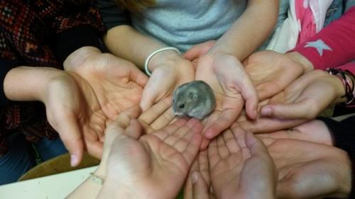 « Minouchou », notre célèbre hamster, fait sa balade habituelle dans les mains des enfants de la classe des Cm1-CM2 de Mathilde.
