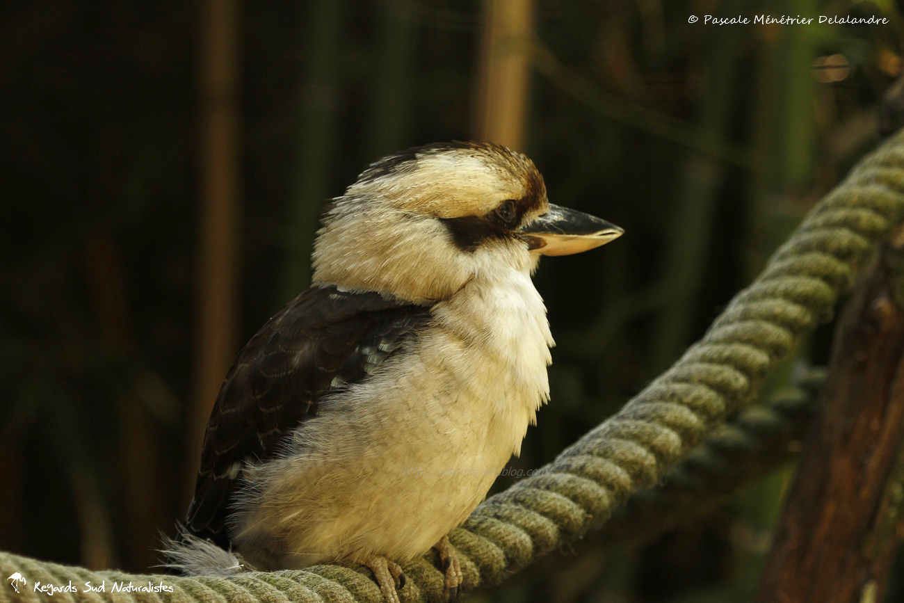 Martin-chasseur géant ou kookaburra