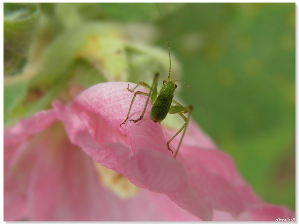Nymphe de sauterelle