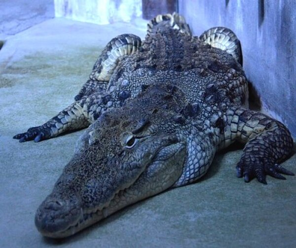 Le crocodile des égouts de Paris