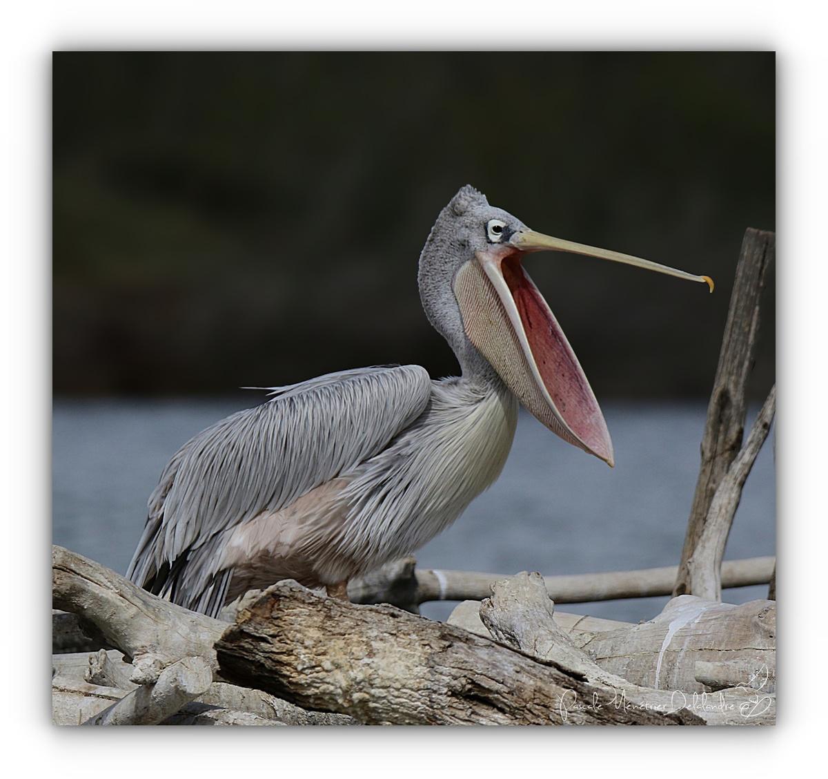 """Plonger dans l'intimité """"buccale"""" d'un Pélican gris"""