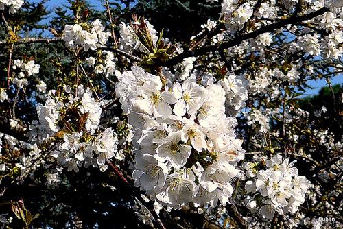 Les fleurs du prunier
