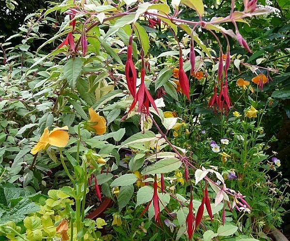 Fuchsia-ricartoni-panache-28-6-10-020.jpg