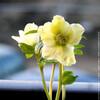 Fleur Hellebore blanche.jpg