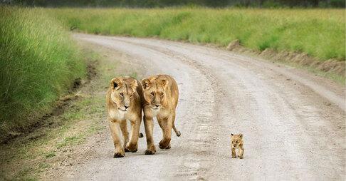 Photos de Famille Lionnes et lionceau