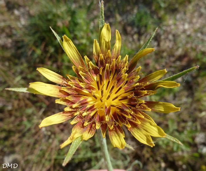 Tragopogon pratensis [identification à confirmer]  TPuK2jT3qGxuUopjujghsuxRhsU