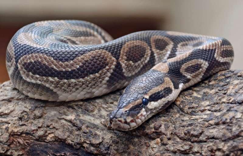 Indonésie: une femme dévorée par un python géant dans son jardin