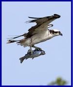 Le Balbuzard Pêcheur