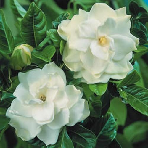 Gardenia aug florida-01