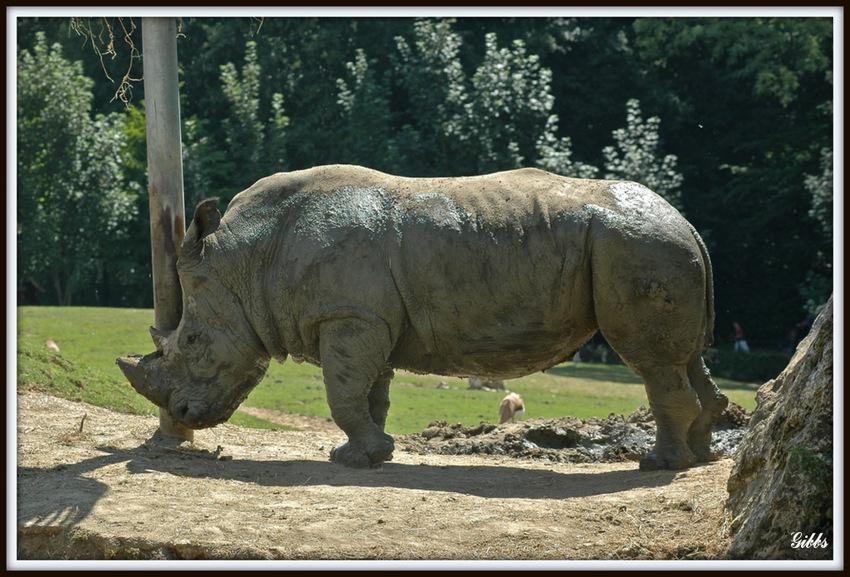 rhinocéroce blanc