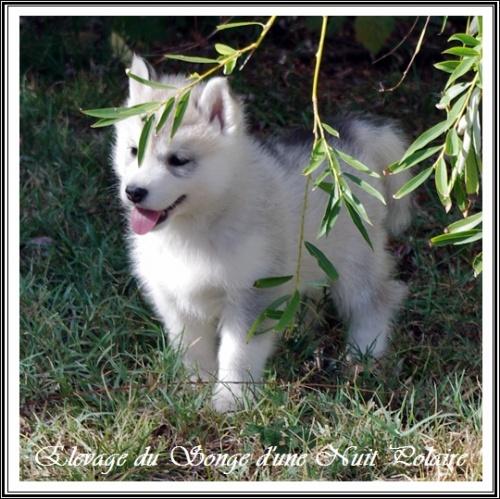 Chiot Husky Femelle 1 (45j)