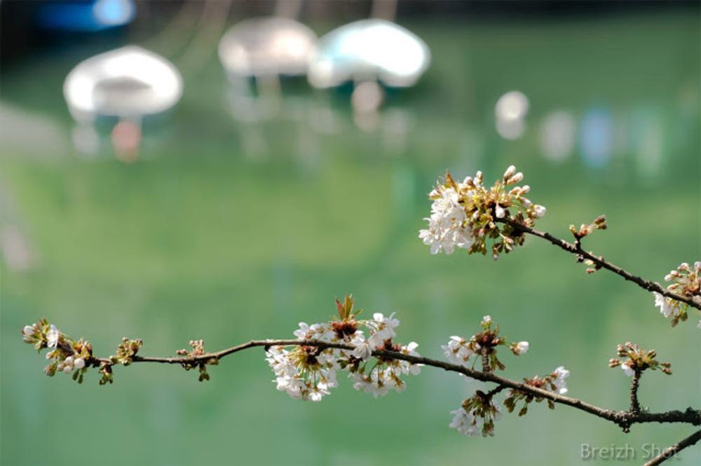Port de Brigneau,  cerisier en fleur