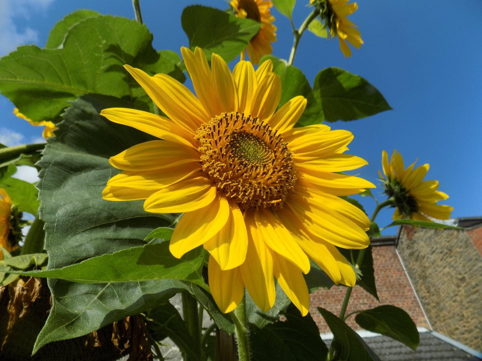 bouquet de tournesols - pré des sources