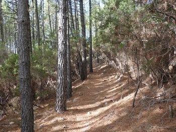 Passage confortable sous les pins
