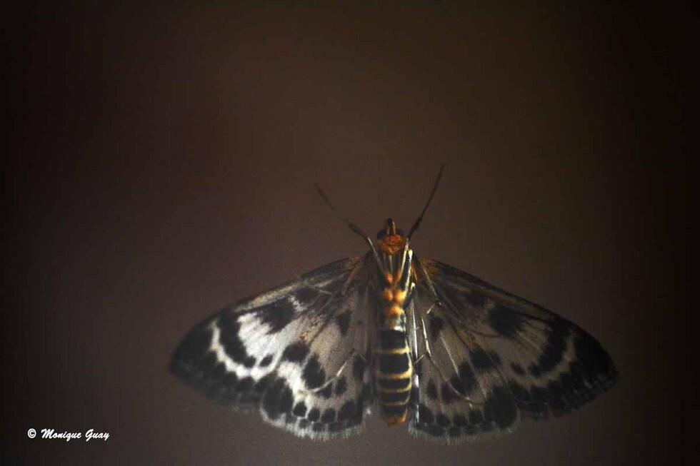Papillon lépidoptère