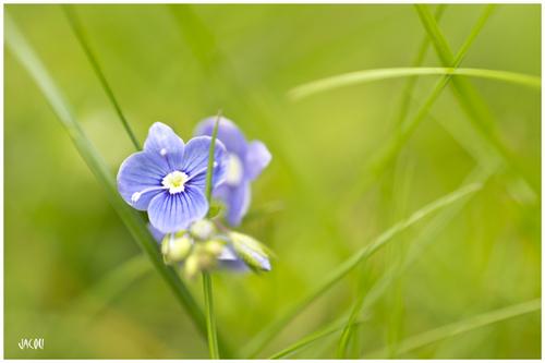- petites fleurs du printemps