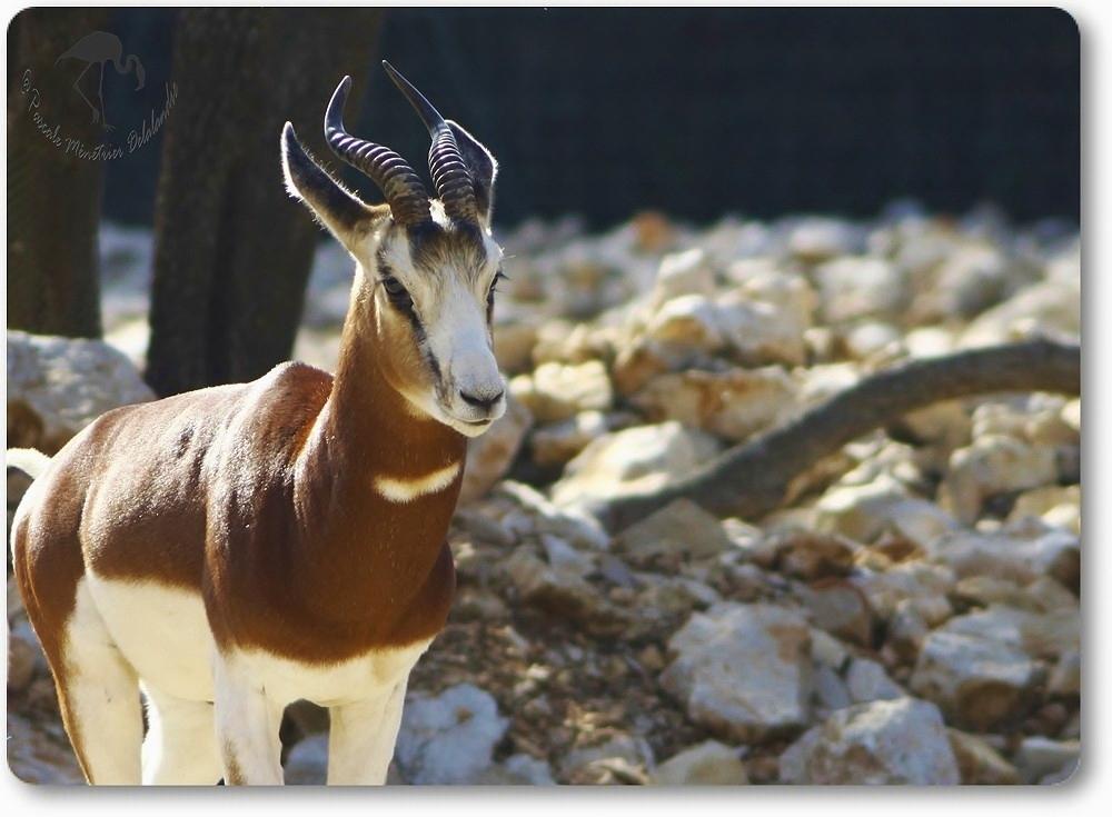 Gazelles de Mhorr au parc Darwin de Montpellier...