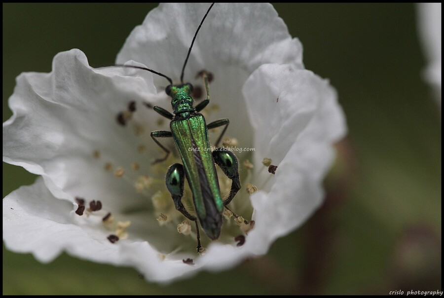 Oedemera mâle et femelle