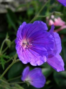 geranium orion gp