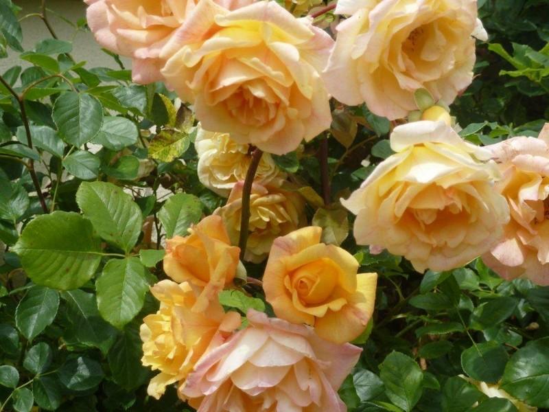 senteur de roses ...