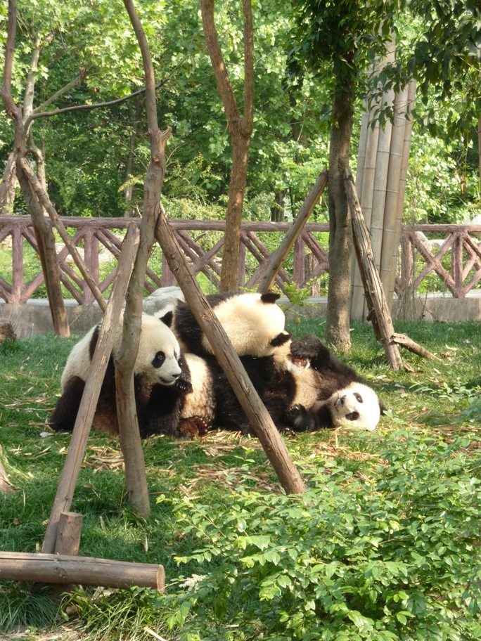 Ma rencontre avec les pandas