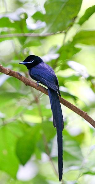 309px-Seychelles_Paradise-flycatcher.jpg