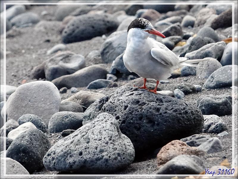 Petit tour sur la plage : le Lyrial, le Bark Europa, sterne arctique - Edinburgh of the Seven Seas - Tristan da Cunha