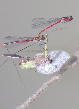 Pyrrhosoma Nymphula ou Petite Nymphe au Corps de Feu - Accouplement