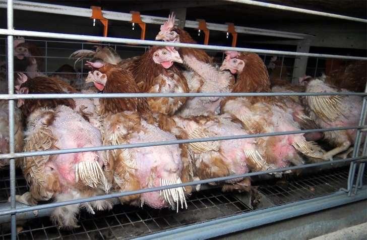 Nestlé s'engage à ne plus utiliser d'oeufs de poules en batterie d'ici 2025