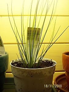 Tilandsia juncifolia