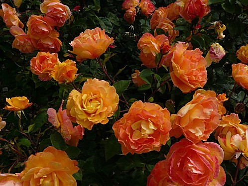 Rosier-Orientalia-Beaujoire--18-6-10-Pan75.JPG