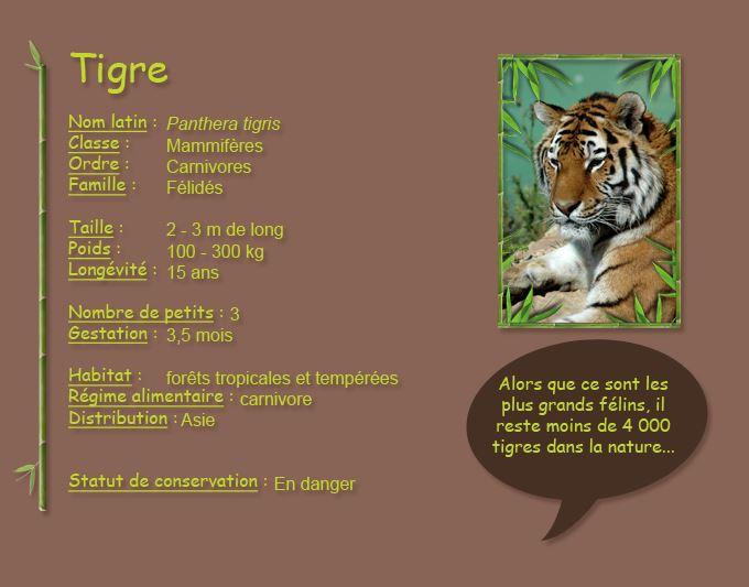 Le tigre (hétérochromique... soit possédant des yeux vairons)