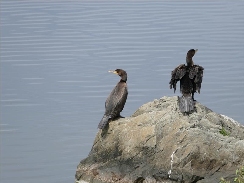 Le Cormoran à aigrettes (suite et fin)
