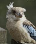 Martin chasseur à ailes bleues