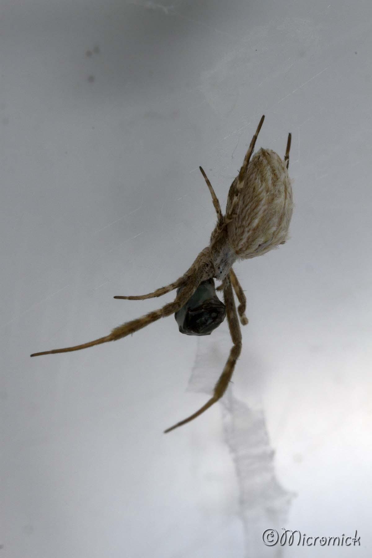 Araignée Uloborus walckenaerius