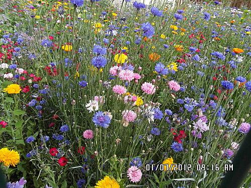 Fleurs-1er-Juillet-010.JPG