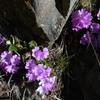 Primevère hirsute (Primula hirsuta)