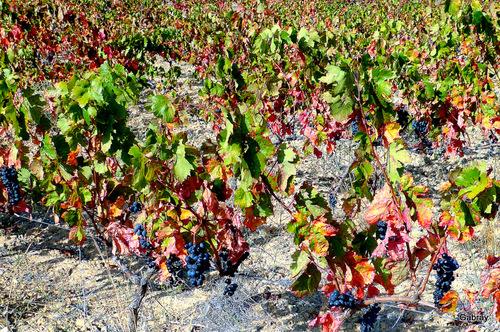 Vigne, raisins & feuilles ...