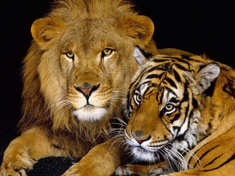 Lion-And-Tiger-Animals-Wallpaper-3868.jpg