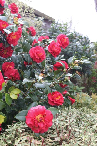 "Camelia  japonica ""Blood of China"""