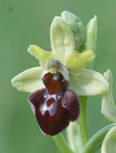 Ophrys incubacea