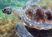 Une jeune tortue verte sur le littoral de La Réunion ©Kélonia