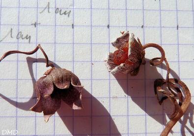 Cyclamen hederifolium   -   cyclamen à feuilles de lierre  cyclamen de Naples