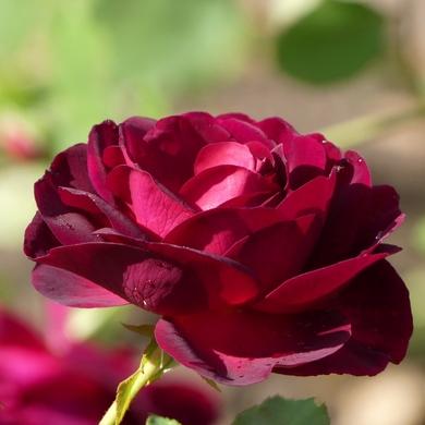 La vie en roses à Morienval...