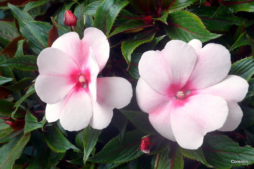 Des fleurs au rose pale ...