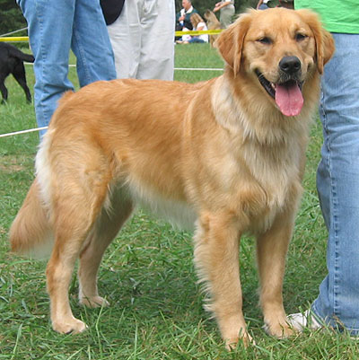 Un golden retriever!!!!