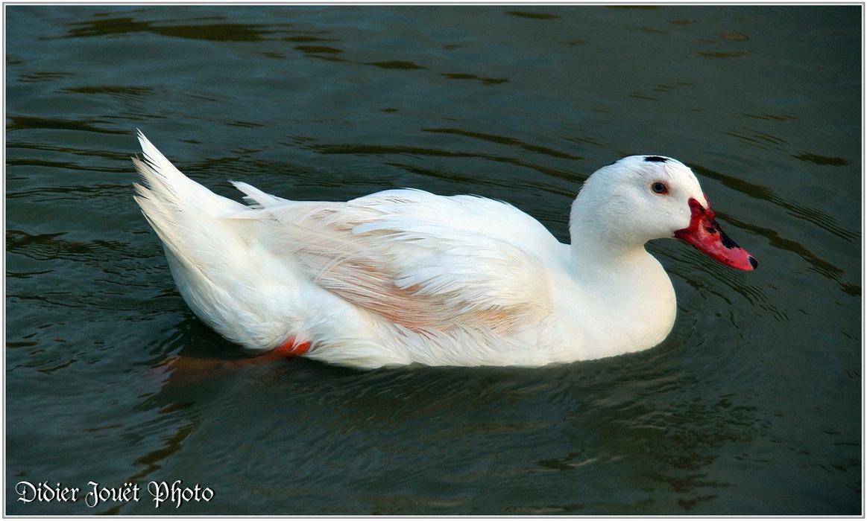 Canard de Barbarie / Cairina moschata