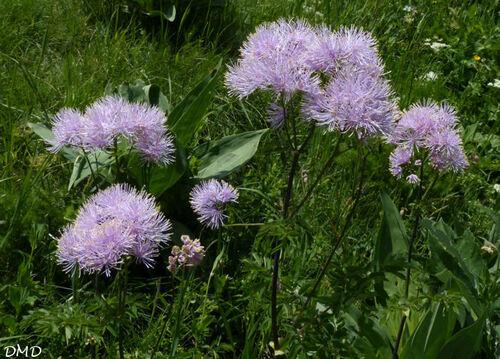 Thalictrum aquilegiifolium  -  pigamon à feuilles d'ancolie