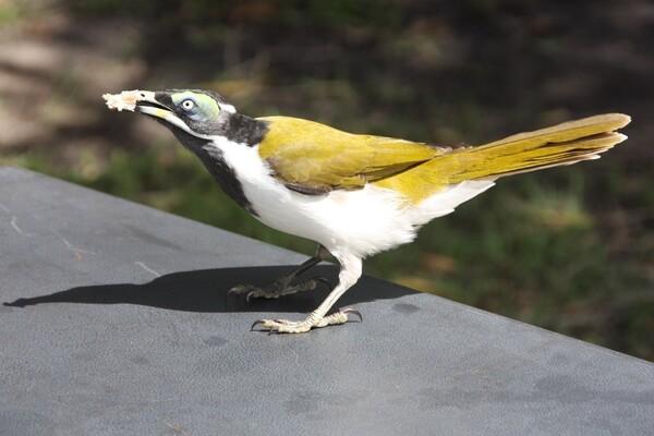 animaux oiseau Boonooroo 048