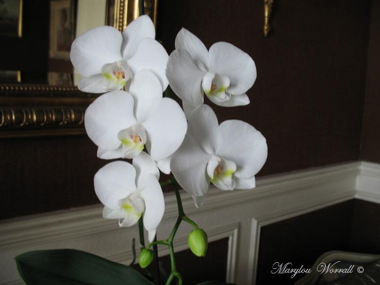 Regard sur mes orchidées